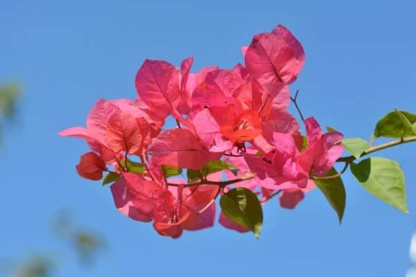picture of red Bougainvillea flowers