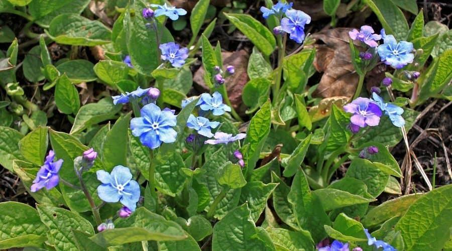 blue Brunnera