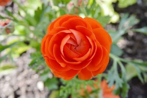 Picture of Orange Buttercup