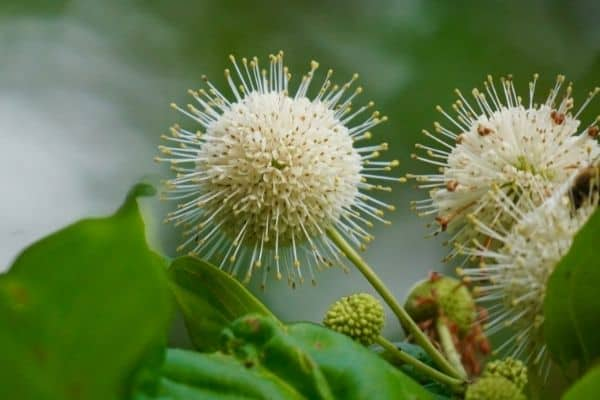 Picture of button bush