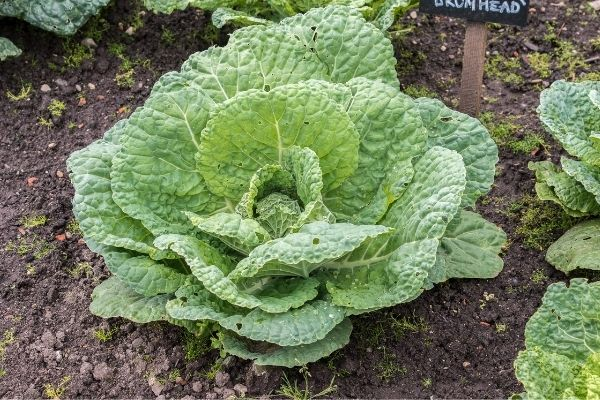 Picture of cabbage on the ground