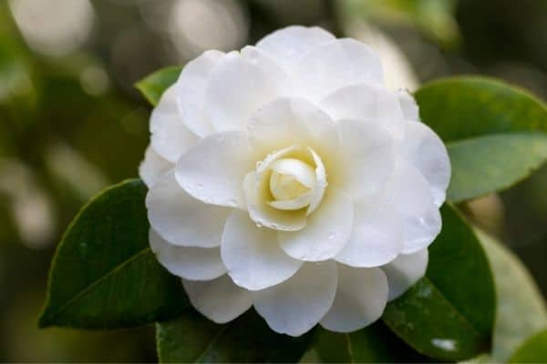 Picture of camellia