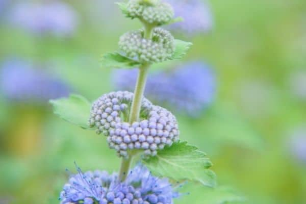 Picture of Caryopteris flower