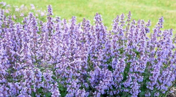 Picture of purple catmint