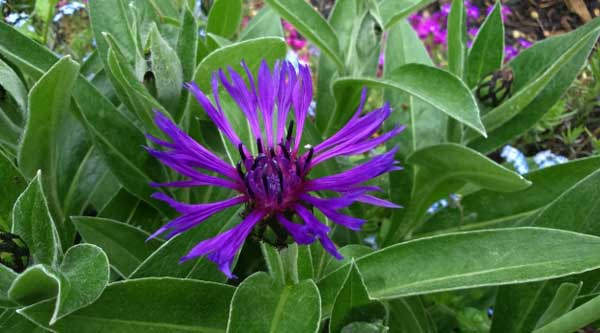 Picture of purple mountain cone flower