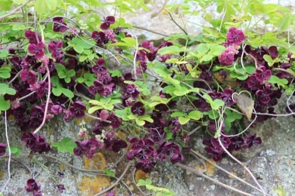 picture of chocolate vine in wall