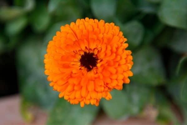 Picture of orange Chrysanthemums