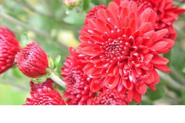 picture of red Chrysanthemums flowers