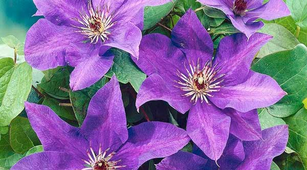 Picture of purple clematis