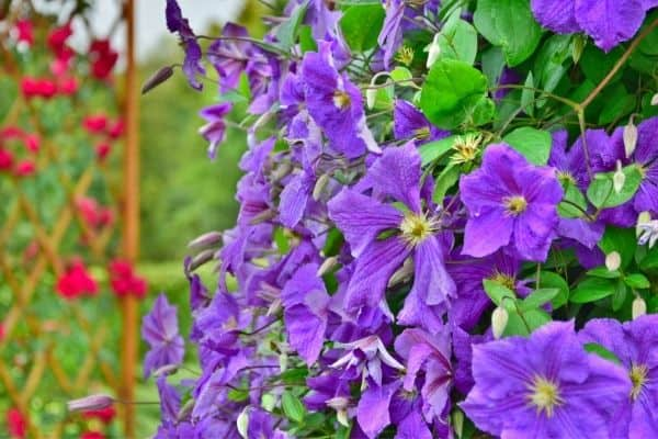 Picture of clematis