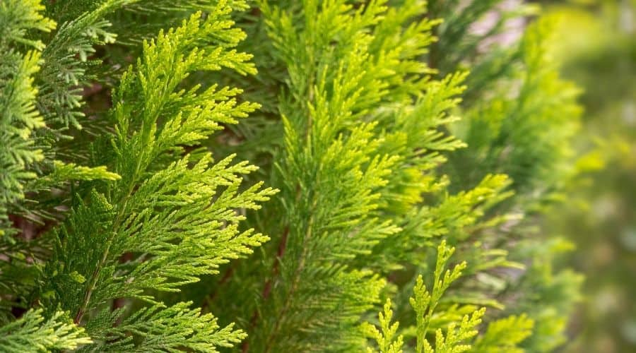 Picture of Conifer with a blurry background