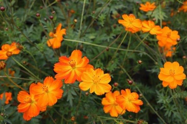 Picture of orange Cosmos