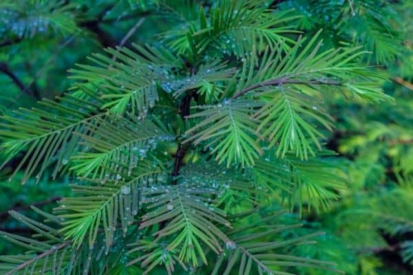 Picture of Dawn Redwood