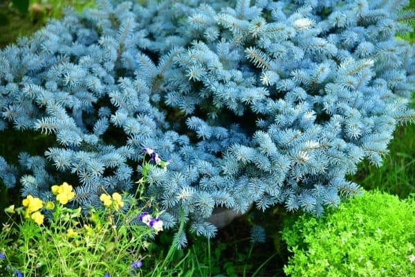 Picture of Dwarf Blue Spruce