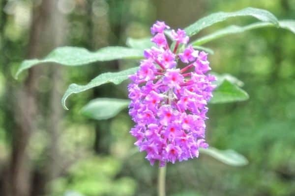 Picture of Butterfly bush