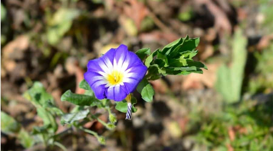 blue Dwarf Morning glory