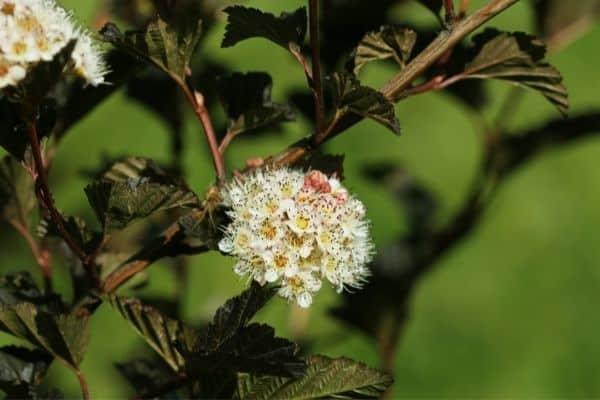 Picture of Dwarf Ninebark flower
