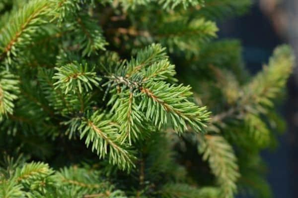 Picture of Dwarf Serbian Spruce