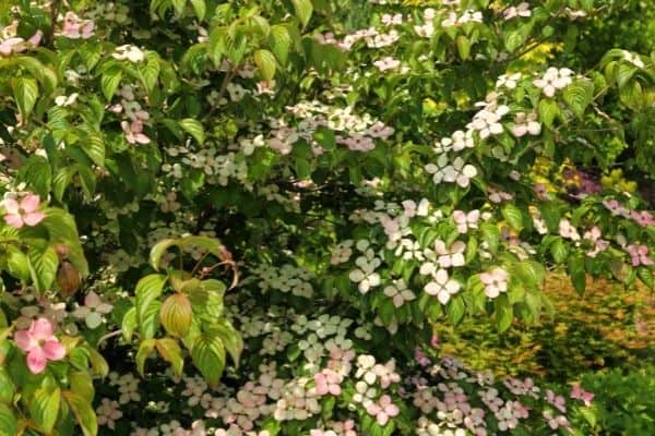 Picture of firedance dogwood flower