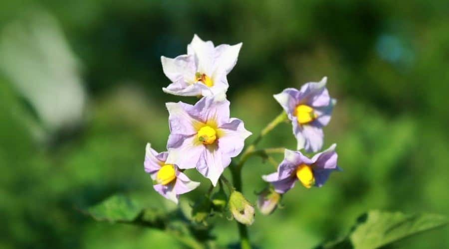 Picture of potato flowers