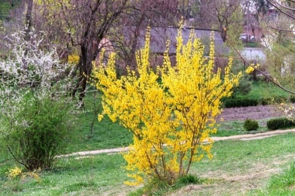 Picture of Forsythia plant