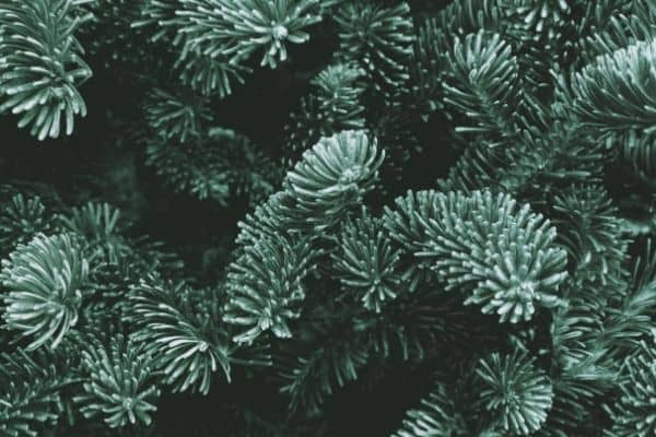 Picture of Fraser Fir