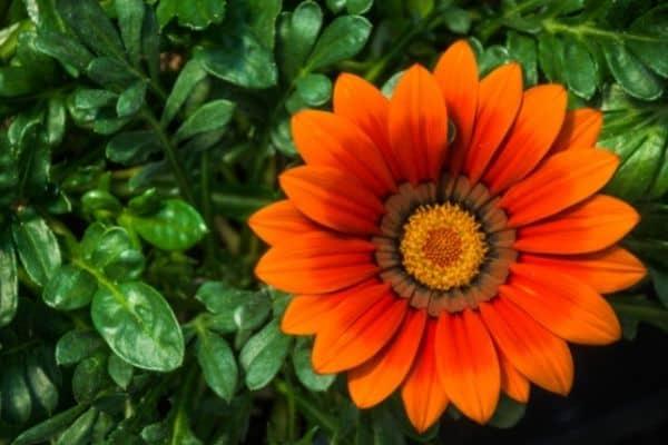 Picture of orange Gerbera Daisy