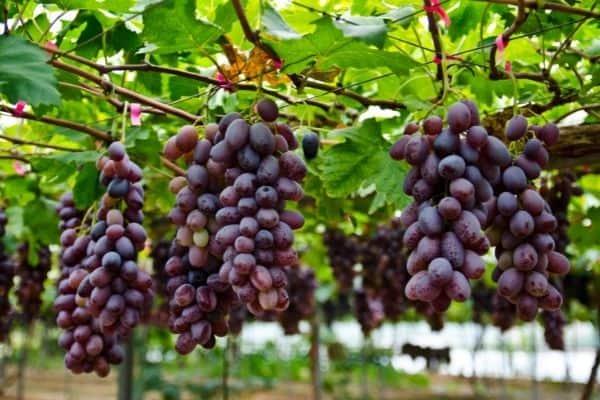 picture of grape vine