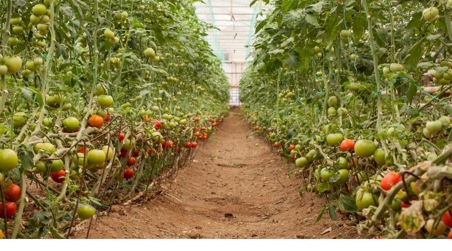 commercial greenhouse of tomatoes