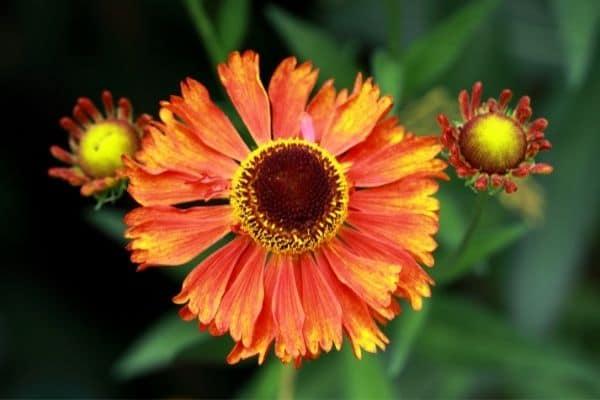Picture of orange Helenium