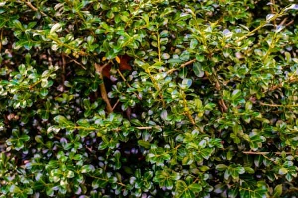Picture of hetz japanese holly