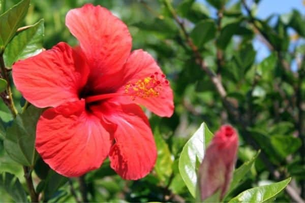 picture of red hibiscus flowers