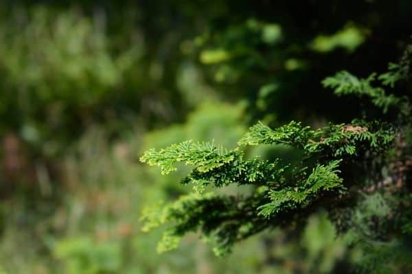 Picture of Hinoki Cypress