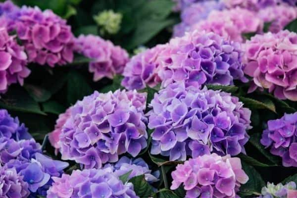 Picture of Hydrangea flower