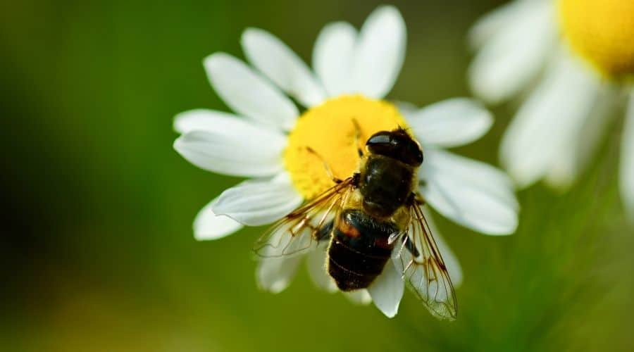 Syrphid flies on daisy