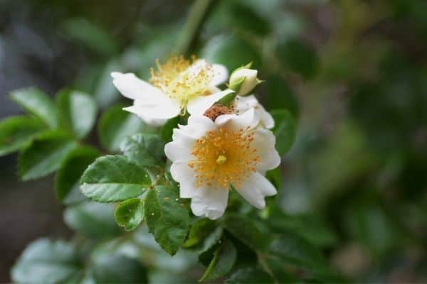 Picture of japanese rose