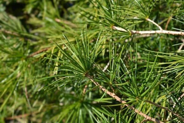 Picture of Japanese Umbrella Pine