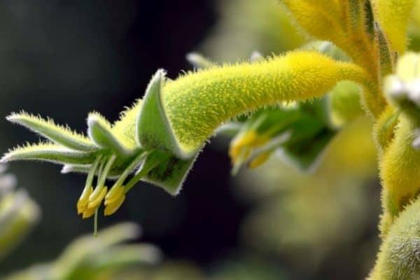picture of kangaroo paw