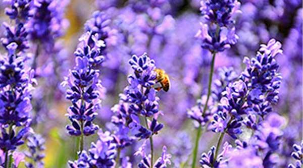 Picture of purple lavender