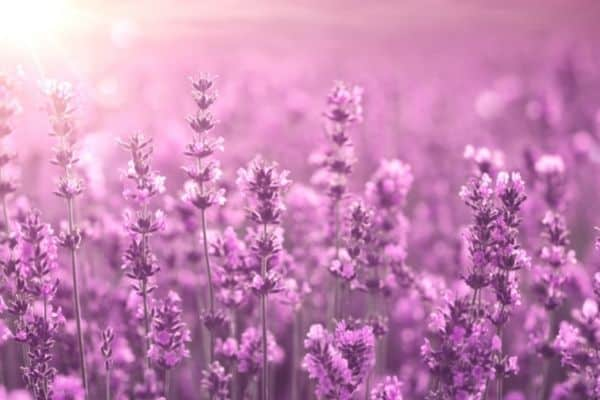 picture of lavender plant with a blurry background