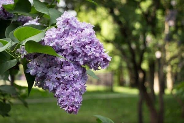 Picture of lilac flower
