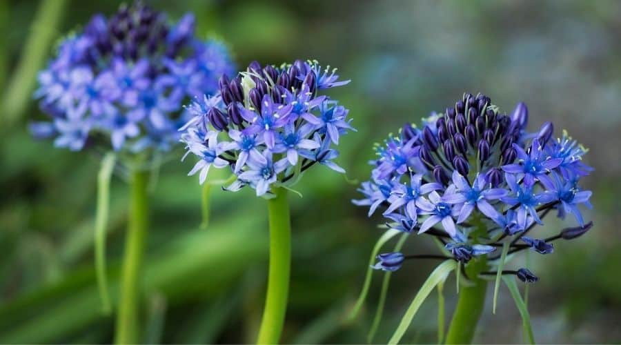 blue Lily of the Nile