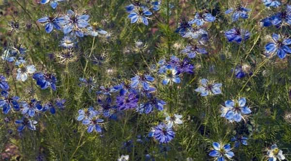 blue Love in a mist