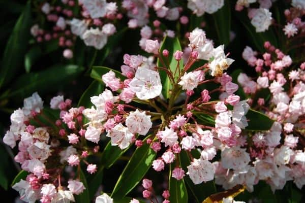 Picture of mountain laurel