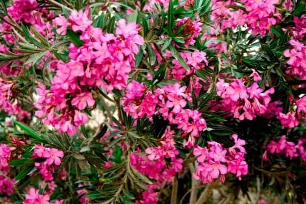 Picture of pink oleander