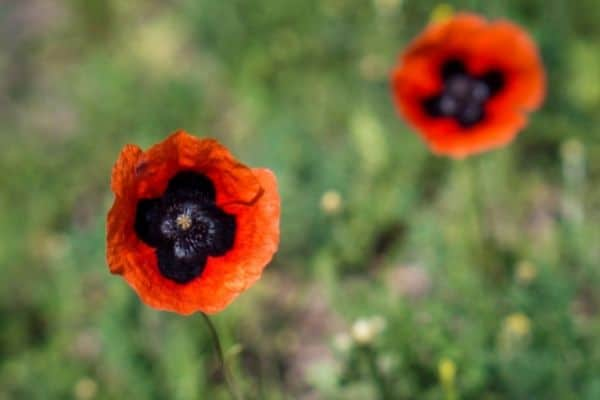 picture of red oriental poppy flowers