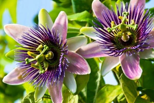 Picture of passion flower