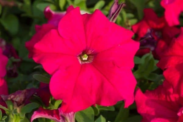 picture of red petunias