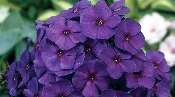 Picture of purple Phlox