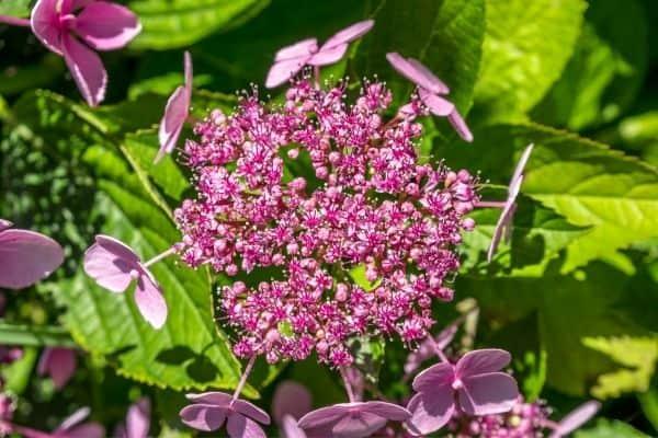 Picture of Pink Sparkler Spirea Flower